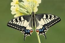 Swallowtail (Papilio Machaon) ...