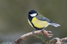 Great Tit (Parus Major) Sits On A Branch, Tyrol, Austria, Europe
