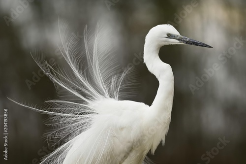 Great egret (Ardea alba), with mounted feathers, Kiskunsag National Park, Hungary, Europe