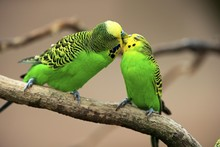 Budgies (Melopsittacus Undulatus), Pair Sitting On Branch Billing, Captive