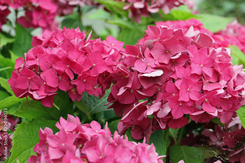 Foto op Canvas Hydrangea Hortensie
