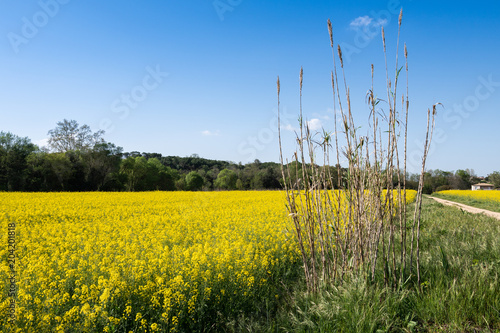 Foto op Canvas Platteland Colza field landscape in a sunny day