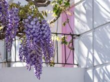 Wisteria Tree In Full Bloom Gr...
