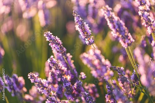 Fotobehang Lavendel Fleurs de Lavande