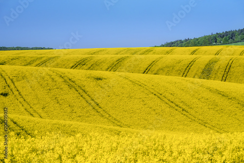Fields with rapeseed culture in South Moravia Poster