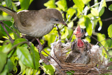Bird Mother Family Streak-eare...