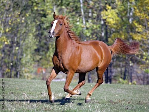 Fotografía Chestnut Arabian Horse galloping on grassy field.