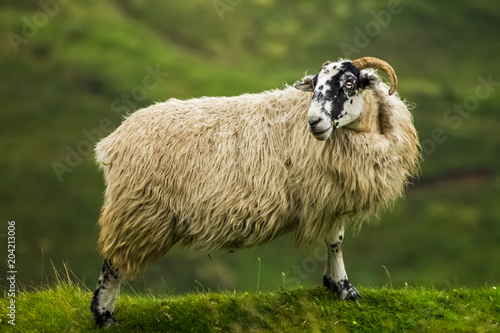 Foto op Canvas Schapen Scotland Sheep