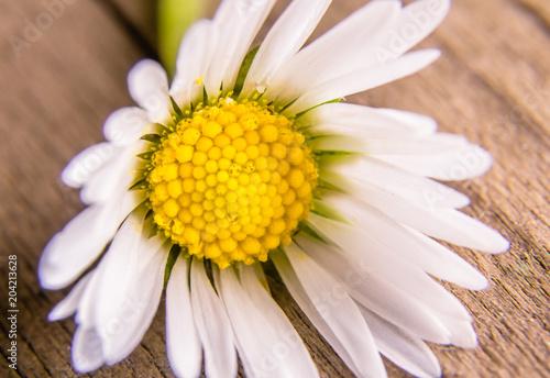 Foto op Aluminium Madeliefjes Daisy Flower