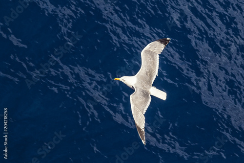 Flying seagull, top view