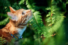Beautiful Adventurous Ginger Tabby Cat Hunting And Exploring Among Green Ferns.