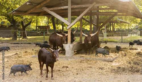 Photo Stands Ass Watusi longhorn cattle and wild boars together in animal community