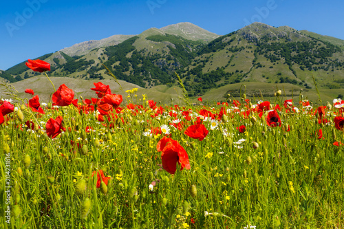 a field of poppies on the italian mountains in spring. #204231816