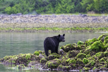 Black Bear Standing On Rocks At Low Tide Tofino British Columbia Canada