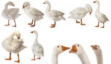 White Goose (Anser Anser Domes...