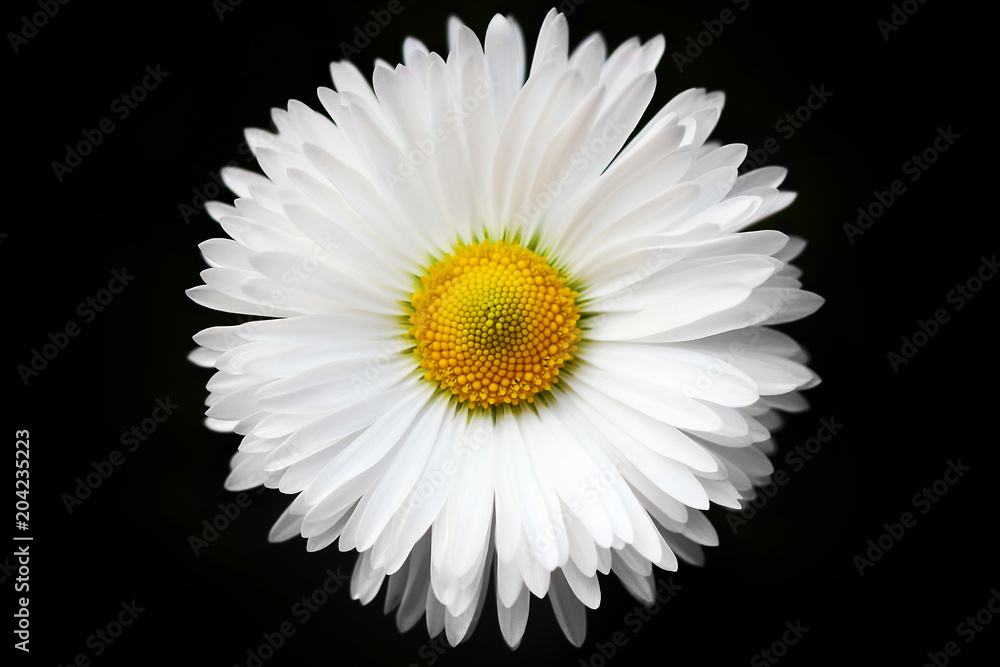 Fototapeta isolated White daisy on black