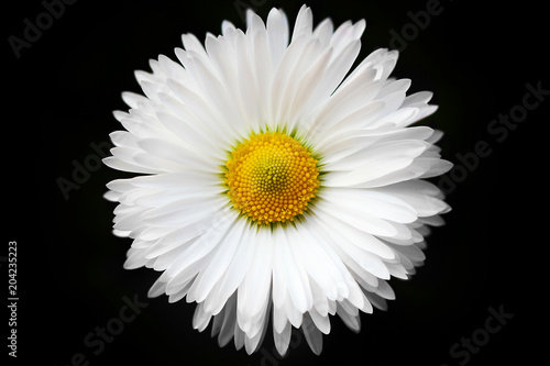 Fotografie, Obraz  isolated White daisy on black