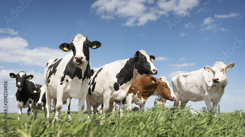 black and white cows in green grassy summer meadow under blue sky near amersfoort in the netherlands