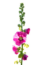Close Up View Of Althaea Rosea Or Common Name Is Hollyhock. Blossoming To See The Pollen Fall. Isolated On White Background.