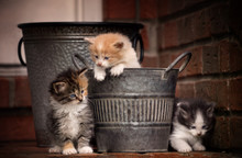 Three Kittens Playing