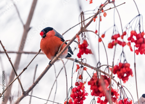 Canvastavla red bullfinch on the viburnum