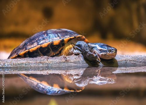 Staande foto Schildpad resting water turtle (terrapin)