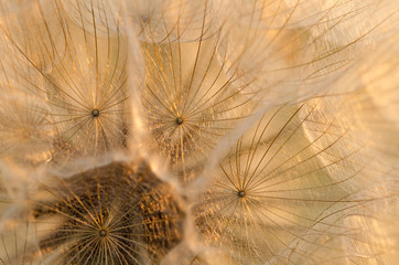 Dry Dandelion Seeds Close-Up. Abstract Background. Soft Focus. Macro.