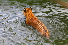 Tiger Is Swimming In A Pond At...