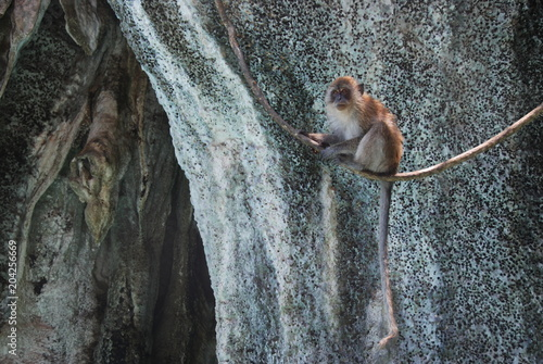 Foto op Canvas Aap A macaque monkey sitting on a liana