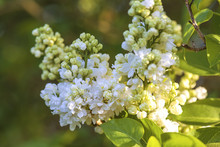 Beautiful Twig Of White Lilac ...