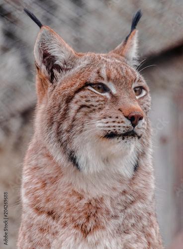 Staande foto Lynx Eurasian lynx (lynx lynx) face looking to the right