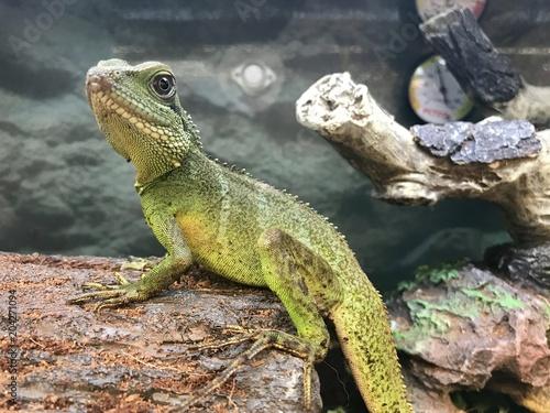Photo  Pet lizard in a terrarium