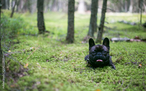 Poster Franse bulldog French bulldog in the woods