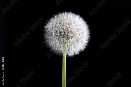 Deurstickers Paardebloem Matured transparent dandelion on a dark background
