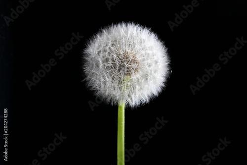 Staande foto Paardebloem Matured transparent dandelion on a dark background