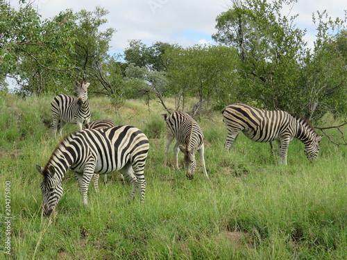 Tuinposter Zebra サバンナで生きるシマウマ⑪/南アフリカにあるクルーガー国立公園のサバンナで生きるシマウマ