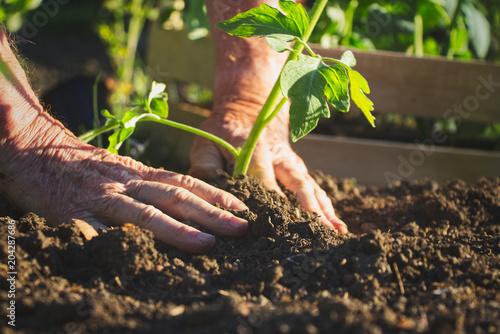 Old farmer planting tomatoes seedling in organic garden