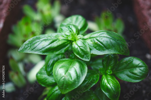 Fotomural Detail of basil plant with drop of water on a leaves
