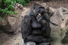 Gorillas Yawn In The Zoo