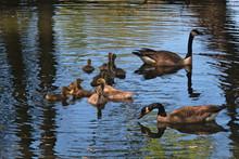 Geese And Goslings 1625
