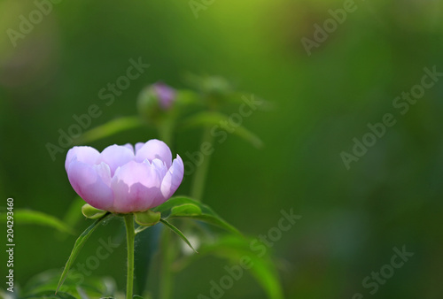Foto op Canvas Bloemen Blooming peony flowers in the park
