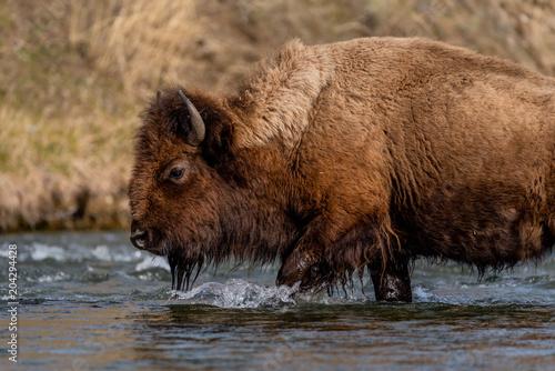 Foto op Plexiglas Bison Bison Tred