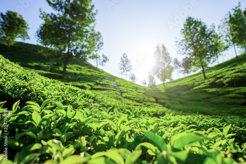 (Selective focus) Beautiful expanse of green tea plantations grown in terraces on the hills of Darjeeling, India Canvas Print