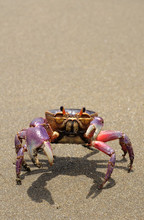 The Colorful Land Crab Gecarci...