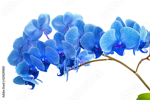 Autocollant pour porte Orchidée beautiful blue Orchid without background, bright blue Orchid flowers on a white background.
