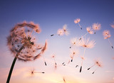 Fototapeta Puff-ball - Dandelion seeds in the air