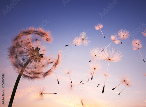 plakat Dandelion seeds in the air