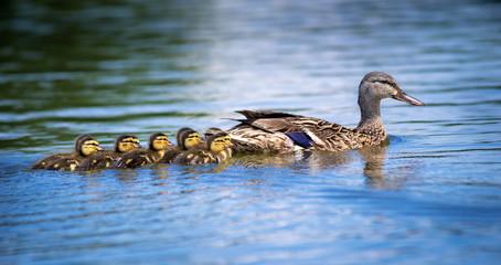 Female Mallard duck (Anas platyrhynchos) and adorable ducklings swimming in lake