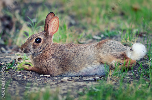 Cautious looking cottontail bunny rabbit lying in the grass showing fluffy white tail