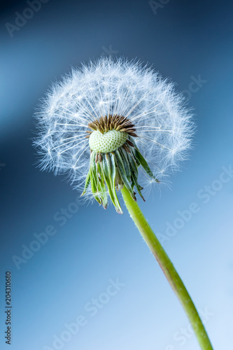 Close-up of dandelion seeds as art blue background